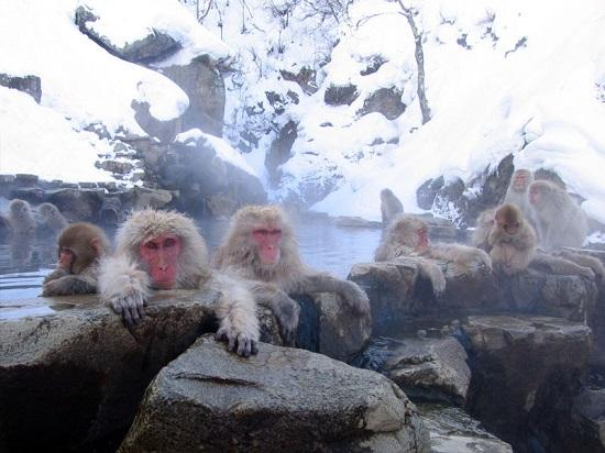 japan monkey onsen